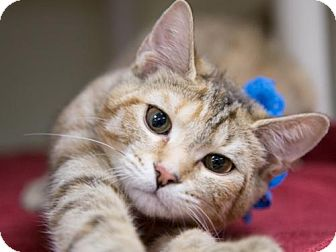 Domestic Shorthair Kitten for adoption in Millersville, Maryland - Sweet Pea