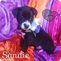 Adopt A Pet :: Sandie - Jenkintown, PA