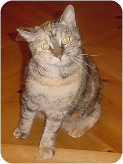 Calico Cat for adoption in Franklin, North Carolina - Juniper