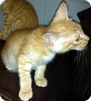 Domestic Shorthair Kitten for adoption in Jacksonville, Florida - Pravin