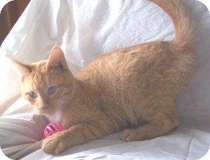 Domestic Shorthair Cat for adoption in Brookville, Indiana - Donald