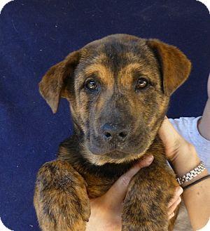 Australian Shepherd/Golden Retriever Mix Puppy for adoption in Oviedo, Florida - Maylee
