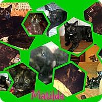 Adopt A Pet :: Matilda - Washington, DC