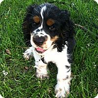 Adopt A Pet :: Tango - Rigaud, QC