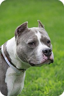 Pit Bull Terrier Mix Dog for adoption in Brookhaven, New York - Ruby
