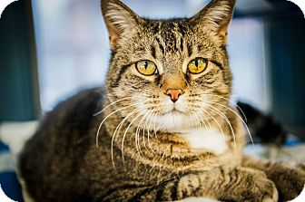 Domestic Shorthair Cat for adoption in Cody, Wyoming - KiKi