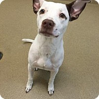 American Bulldog Mix Dog for adoption in Miami, Florida - Googly Boogly