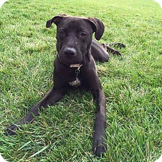 Labrador Retriever/American Bulldog Mix Dog for adoption in Warrenville, Illinois - Dory