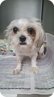 Maltese Mix Dog for adoption in Brownsville, Texas - Mia