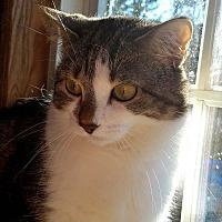 Adopt A Pet :: Ivy - Lombard, IL
