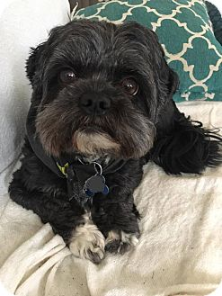 Shih Tzu/Chihuahua Mix Dog for adoption in Newport, Kentucky - Prynce