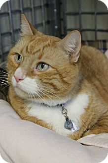 Domestic Shorthair Cat for adoption in New Richmond,, Wisconsin - Monty