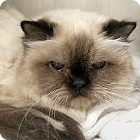 Adopt A Pet :: Michi Seal Point Himmy - Westerly, RI