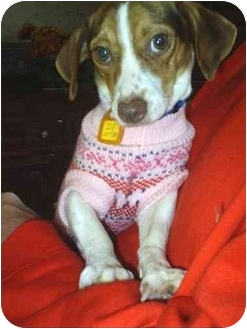 Jack Russell Terrier/Dachshund Mix Dog for adoption in cedar grove, Indiana - Sally