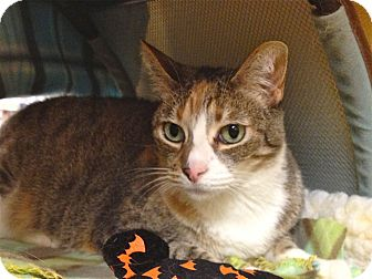 Domestic Shorthair Cat for adoption in Foothill Ranch, California - Nikki