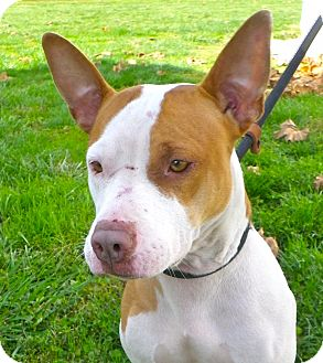 American Pit Bull Terrier Mix Dog for adoption in Metamora, Indiana - Rosalee