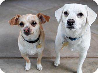Chihuahua/Dachshund Mix Puppy for adoption in Studio City, California - Scout