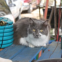 Adopt A Pet :: Bronson Mama - Morriston, FL