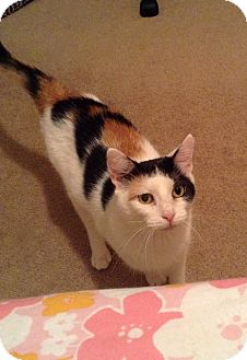Domestic Shorthair Cat for adoption in Carlisle, Pennsylvania - AthenaPENDING