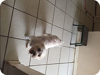 Bichon Frise Dog for adoption in Naples, Florida - Chance
