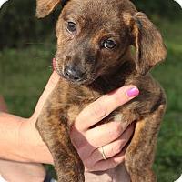 Adopt A Pet :: Cherry - Minneapolis, MN