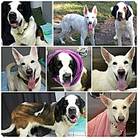 St. Bernard/German Shepherd Dog Mix Dog for adoption in Forked River, New Jersey - Bella & Stella