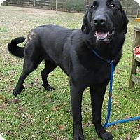 Adopt A Pet :: Dakota - sweet and handsome! - Zebulon, NC