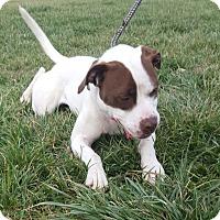 Adopt A Pet :: Tootsie - Hawk Point, MO