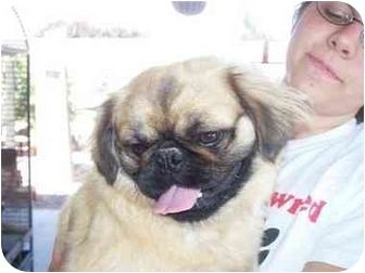 Pekingese Dog for adoption in Mesa, Arizona - Jr.