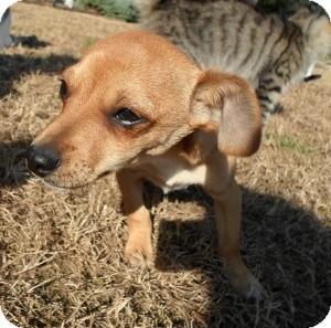 Dachshund/Chihuahua Mix Puppy for adoption in Santa Monica, California - Dante