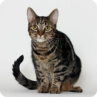 Domestic Shorthair Cat for adoption in Stockton, California - Thelma