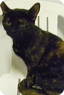 Domestic Shorthair Cat for adoption in Hamburg, New York - Athena