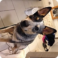 Australian Cattle Dog Dog for adoption in Remus, Michigan - Pending ACD Drover