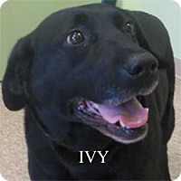 Adopt A Pet :: Ivy - Warren, PA