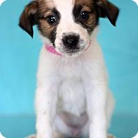 Adopt A Pet :: Sarafina - Waldorf, MD