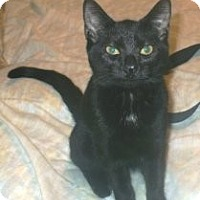 Domestic Shorthair Cat for adoption in Miami, Florida - Nima