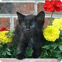 Adopt A Pet :: Calypso - Port Republic, MD