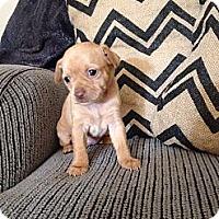 Adopt A Pet :: Canela - Salem, OR