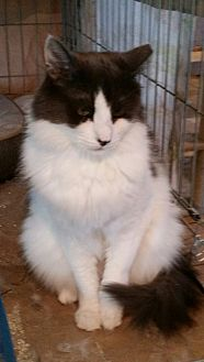 Domestic Mediumhair Cat for adoption in Old Bridge, New Jersey - #1 Fiver
