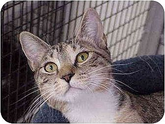 Domestic Shorthair Cat for adoption in Deerfield Beach, Florida - Clover