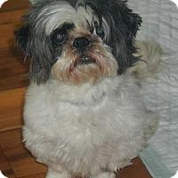 Adopt A Pet :: Cornet - Homer Glen, IL
