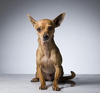 Chihuahua/Terrier (Unknown Type, Small) Mix Dog for adoption in Los Angeles, California - Iggy
