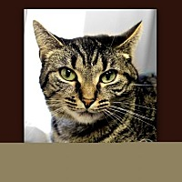 Domestic Shorthair Cat for adoption in Anderson, Indiana - Pixie