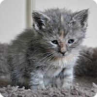 Adopt A Pet :: Lavernia - Mississauga, Ontario, ON