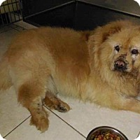 Chow Chow/Shar Pei Mix Dog for adoption in Eastsound, Washington - MOSES