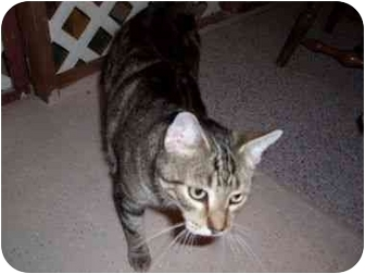 American Shorthair Cat for adoption in North Plainfield, New Jersey - Doodles