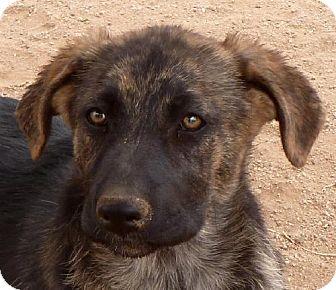 German Shepherd Dog/Labrador Retriever Mix Puppy for adoption in Las Cruces, New Mexico - Sydney