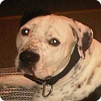 Adopt A Pet :: Moo CP - Dayton, OH