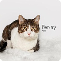 Domestic Mediumhair Cat for adoption in Fort Mill, South Carolina - Penny 5182