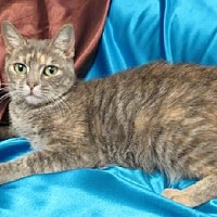 Domestic Shorthair Cat for adoption in St. Louis, Missouri - Gianna